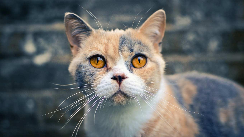 Капли от отита для кошек после аллергии